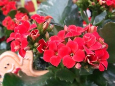Kalanchoe_Red_12-18sw