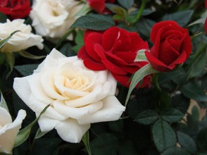 Rose_Mini_White_Red_12-18sw