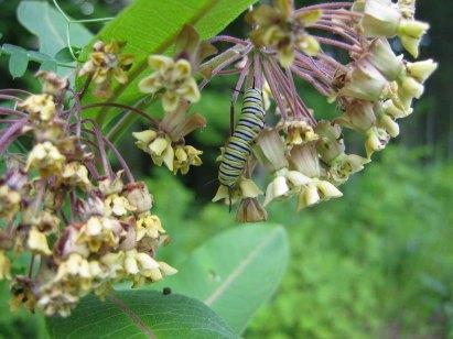 Butterfly_Monarch_Caterpillar_Flowers_w