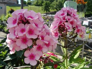 Phlox_Tall_Garden_Pink_Duo_6-19