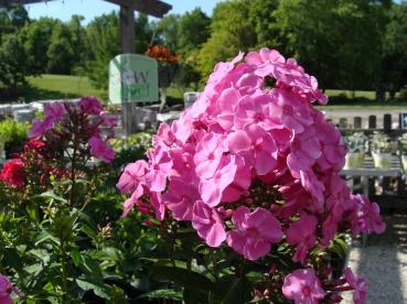 Phlox_Tall_Garden_Pink_M_6-19