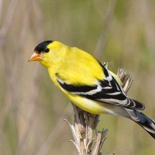 Bird_Goldfinch_On_Dried_Plant_w