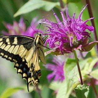 ButterflyOnPurBeeBalmWs4