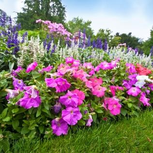 FlowerGardenPetuniasMore-W